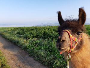 LAMA-EXPEDITION DURCH DAS MÜHLVIERTEL ... Mit faszinierenden Tieren spezielle Hotspots der Natur erkunden